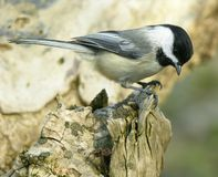 Chickadee On Log 1. Black capped chickadee perched on a tree log stock image