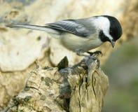 Chickadee On Log 1 Stock Image