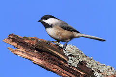 Chickadee on a Log Stock Photos