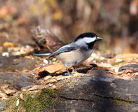 Chickadee On Log Royalty Free Stock Photography