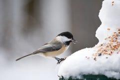 Chickadee mangeant une graine Image libre de droits