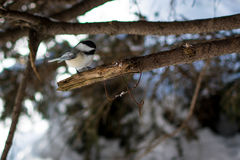 Chickadee. This and many like this are very tame in the park. They will land on your finger and eat from your hands Stock Photography