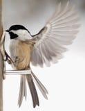 Chickadee med vingfladdrande Arkivfoto
