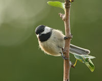 Chickadee-Morgen stockfotos