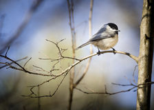 Chickadee. A Chickadee (most likely a Poecile carolinensis) perched on a crape myrtle branch. Taken in Chester, South Carolina, during winter Stock Image