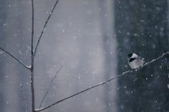 Chickadee na tempestade de neve no galho Lookgin para baixo fotos de stock royalty free