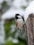 Chickadee Negro-capsulado en nieve Imagenes de archivo