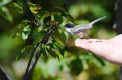 Chickadee Negro-Capsulado encaramado en una mano Foto de archivo libre de regalías
