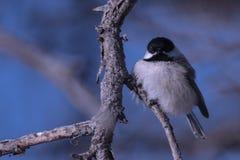 Chickadee nel freddo di inverno fotografia stock