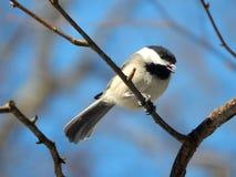 Chickadee nell'inverno Immagini Stock Libere da Diritti