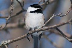 Chickadee Nero-ricoperto Fotografia Stock Libera da Diritti