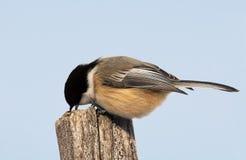 Chickadee Nero-ricoperto Fotografia Stock