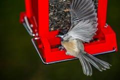 Chickadee no alimentador no movimento Imagem de Stock Royalty Free