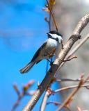 Chickadee no ramo Fotografia de Stock