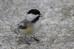 Chickadee Noir-couvert Photographie stock libre de droits