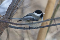 Chickadee Noir-couvert Images stock