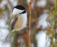 chickadee Noir-couvert sur une branche dans les bois photographie stock