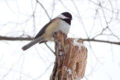 Chickadee Noir-recouvert Image stock