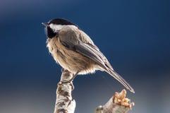 Chickadee Noir-recouvert photos stock