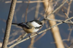 Chickadee Noir-recouvert Images stock