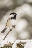 Chickadee Noir-recouvert Photographie stock