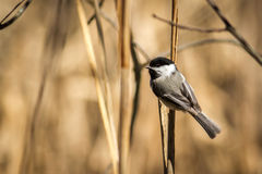 Chickadee Noir-recouvert sur un branchement Photo stock