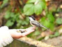 Chickadee od Tynehead regionalności parka zdjęcie royalty free
