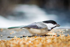 Chickadee. This is one of the many chickadees that are very tame. They will land on your hand to eat birdseed Royalty Free Stock Photography