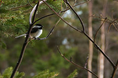 Chickadee. This is one of the many chickadees that are very tame. They will land on your hand to eat birdseed Stock Image