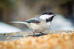 Chickadee. This is one of the many chickadees that are very tame. They will land on your hand to eat birdseed Stock Photography