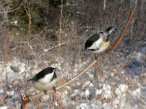 Chickadee Pair. Pair of Black-capped Chickadees (Poecile atricapilla). Fish Creek Park, Calgary, Alberta, Canada Stock Photography