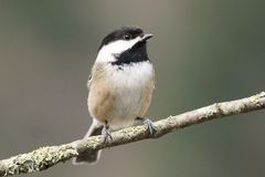 Chickadee pequeno do pássaro Fotos de Stock