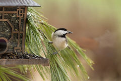 Chickadee Perched on Branches by Feeder. Black-capped chickadee perched on branches being watchful of his enviornment by metal pagoda bird feeder stock photography