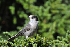 Chickadee perched on a tree Stock Photo
