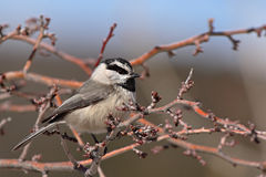 Chickadee Perched During Winter. A Mountain Chickadee perched in an apple tree during winter Royalty Free Stock Photography