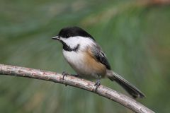 Chickadee on a Pine Branch Stock Image