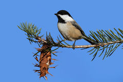Chickadee With A Pine Cone Royalty Free Stock Images