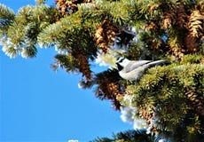 Chickadee in pino immagini stock libere da diritti