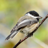Chickadee - Poecile atricapillus Stock Photos
