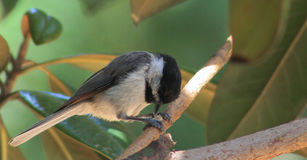 Chickadee-Prays Stock Photography