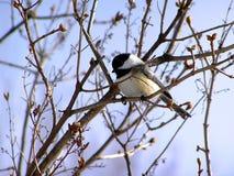 Chickadee Preto-tampado Fotografia de Stock