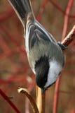 Chickadee Preto-tampado Fotos de Stock