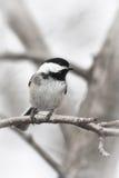 Chickadee Preto-Tampado fotografia de stock royalty free