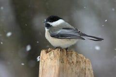 Chickadee Preto-tampado no inverno Imagem de Stock Royalty Free