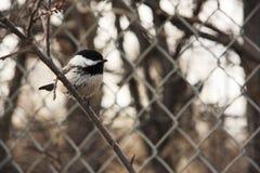 chickadee Preto-tampado por uma cerca Imagem de Stock