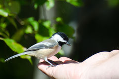 Chickadee Preto-Tampado que come a semente de uma mão Fotos de Stock
