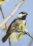 Chickadee on a willow branch Stock Image