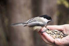 Chickadee que come la semilla del pájaro de una mano humana Imagen de archivo libre de regalías