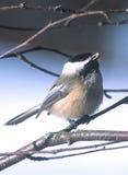 Chickadee recouvert par noir Photos libres de droits