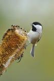 Chickadee recouvert par noir a4 Image libre de droits